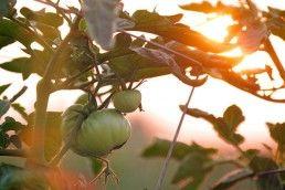 cultivar-tomate-raf